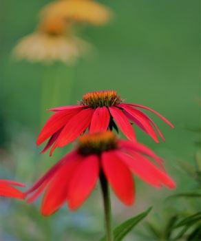 Echinacea RED
