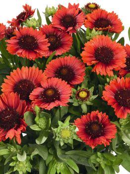 Gaillardia SPINTOP RED