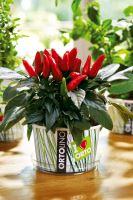Ortolino - VERDEMAX - red chillie