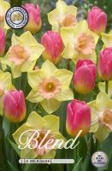 Tulipa/Narcissus Milkshake x15     (12/+)