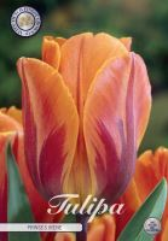 Tulp Triumph Prinses Irene x7     (12/+)