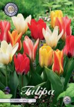 Tulp Kaufmania/Botanisch Mixed x10     (12/+)
